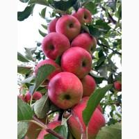 Продам яблука опт., сортів Голден, Чемпіон з власного саду. Урожай 2020