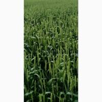 Пшеница озимая Джерси (США)
