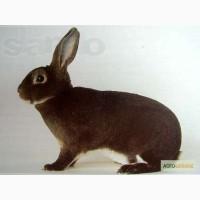 Продам кролів рекс кастор