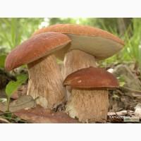 Куплю грибы белые