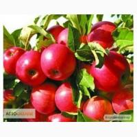 Розсадник пропонує саджанці плодових дерев