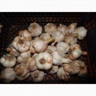 Продам часник сорт Мессідор озимий Голандія та воздушку (повітряну кульку) насіння Любаша