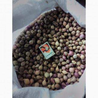 Семена озимого чеснока сорта лучшей Украинской и зарубежной селекции на посадку осень 2017