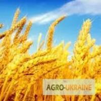Птицефабрика закупает пшеницу