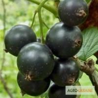 Двухлетние саженцы крупноплодной смородины Вернисаж