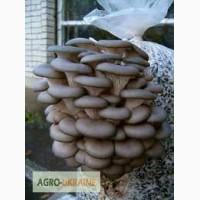 Куплю гриб вешенка
