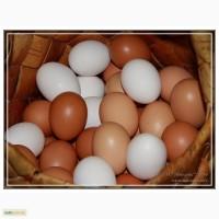 Продам яйца оптом С1 С2 С3