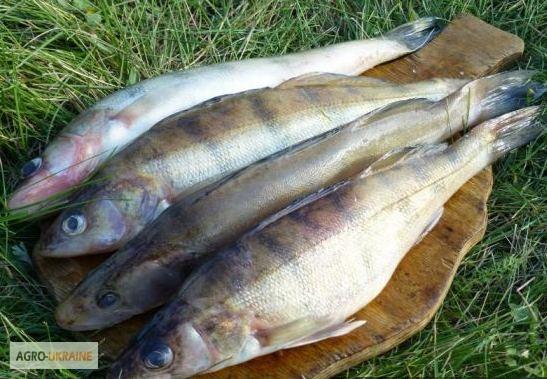 судак рыба в мае