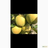 Продам яблука оптом: ліголь, чемпіон, голден, флоріна, пінова, Джона горед