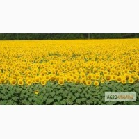 Семена подсолнечника ЕС Петуния (Euralis Semenses)