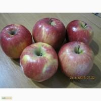 Яблоки сорт флорина, пинова, рихард (домашний сад!)