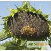 Семена подсолнечника Айдар