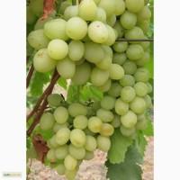 Продам привитые саженцы винограда в розницу
