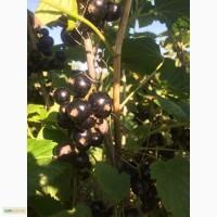 Продам ягоду чорної смородини, сорт ЮВІЛЕЙНА КОПАНЯ та Вернісаж