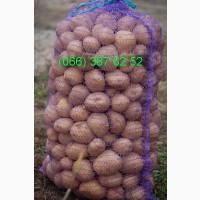 Продам семенной картофель оптом в Черниговской области