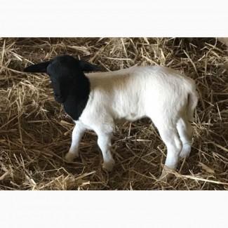 Продам овець породи Дорпер