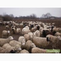 Продам вівці, в наявності 100 голів