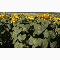 Продам семена подсолнечника ЯСОН F1 110 дней. Екстра