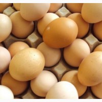 Продаємо Яйце інкубаційне Фоксі Чік