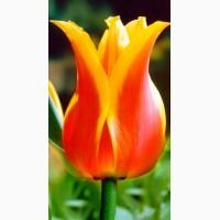 Луковица тюльпана оптом напрямую из Голландии