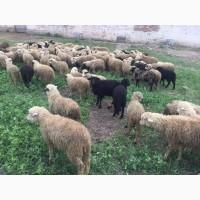 Продаются бараны, ягнята, овцы Молодые