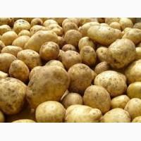 Картофель:Королёва Анна, ривьера, и белороса