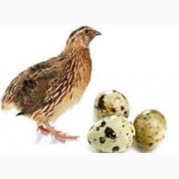 Продам домашние перепелиные яйца, мясо