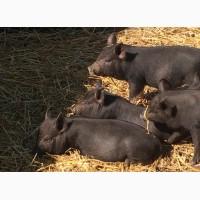 КРЕПКИЕ ВЬЕТНАМСКИЕ поросята, свиньи- свиноматки, хряки. Кармалы, мангалы