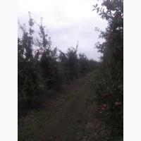 Садженці яблунь