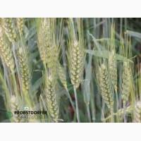 Продам Мидас (пшеница)