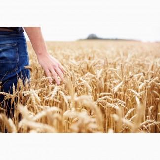 Закупка пшениці некласної+організація доставки