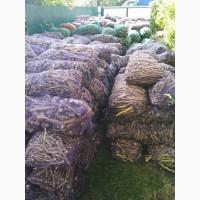 Продам корінь хріну