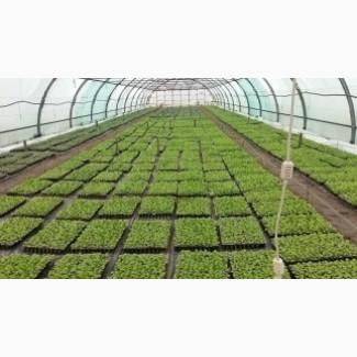 Выращиваем рассаду Дыни и овощей в кассетах под заказ