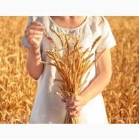 Продам посевной материал озимой пшеницы Скипетр элита