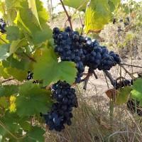 Продам винаград тех.виних сортов