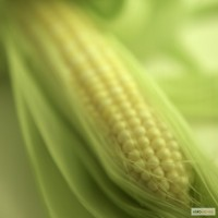 Семена кукурузы от Института орошаемого земледелия НААН