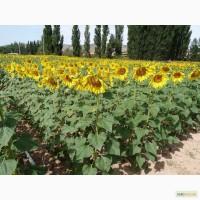 Пропоную семена сортов подсолнечника ШТРУБЕ (Strube) гибрид СЕРДЖИО ШТ (Sergio ST) Акция