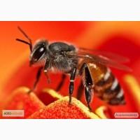 Распродажа пчелопакетов и меда