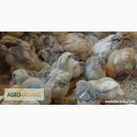 Подрощенные цыплята мясо-яичных пород ( венгерки ) оптом