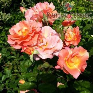 Саженцы роз Westerland (Вестерленд)