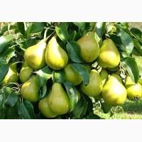 Продам груші на переробку. ціна за домовленістю