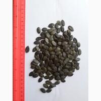 Продаем семечку тыквенную голосемянную сорт Глайсдорф в количестве 50 тонн