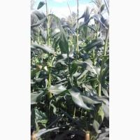 Семена сахарной кукурузы Добрыня Ледмарк