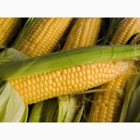 Семена кукурузы G HOST GS 115 В 34 (ДЖИ ХОСТ) ФАО 340