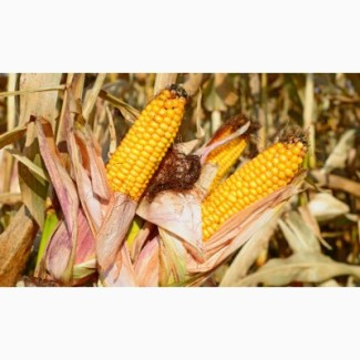 Продам високоурожайну кукурузу Гран 220 ФАО(210)урожай 2017г