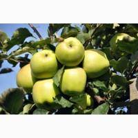 Саджанці яблунь одно-трьохрічні на ММ-106