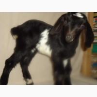 Продам процентный нубийских козочек от высокоудойных коз