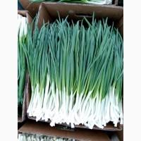 Зеленый лук на экспорт