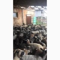 Продам овец романовской породи