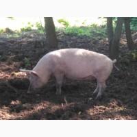 Свиня живою вагою